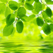 Green leaves — Stock Photo #30861419
