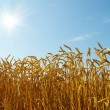 Wheat and blue sky — Stock Photo