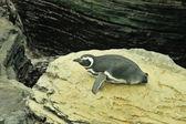 Macellan pengueni — Stok fotoğraf