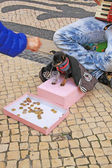 Young beggar musician with small cute dog play accordion and ask for money on street of Lisbon. — Stockfoto