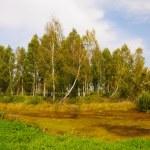 Autumn birch grove — Stock Photo #12883691