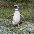 Magellan Penguin (Spheniscus magellanicus) - Stock Photo