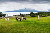 Alpaky a vulkán osorno, jezerní oblast, chile — Stock fotografie