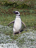 Magellan Penguin (Spheniscus magellanicus) — Stock Photo
