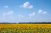 Field of sunflowers and blue sky — Stock Photo