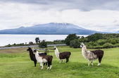 Alpacas and Osorno Volcano, Lake Region, Chile — Stock Photo