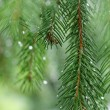 Stock Photo: Coniferous tree branch with water drops. Macro shot