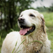 Golden Retriever, female, eight years old, after swimming. - Stock Photo