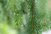 Coniferous tree branch with water drops. Macro shot — Stock Photo