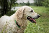 Golden retriever, femmina, dopo il nuoto. — Foto Stock