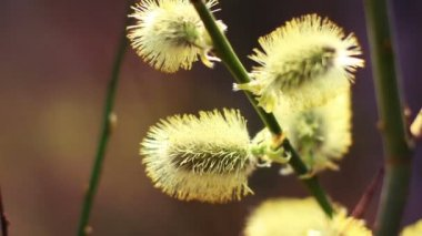 Willow buds, macro shot. — Vídeo de Stock