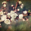 Vintage sakura flowers blossoms at spring — Stock Photo