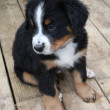 Stock Photo: Puppy Bernese Mountain Dog