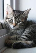 Adorable Kitten — Stockfoto