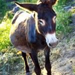 Esel — Stockfoto