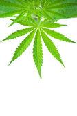 Cannabisplantan — Stockfoto