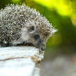 Hedgehog — Stock Photo #31677205