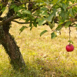 Stock Photo: Autumn apple