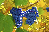Red grapes in a vineyard — Stock Photo