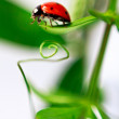 Stock Photo: Ladybug is crawling about the green leaves