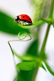 Ladybug is crawling about the green leaves — Stock Photo