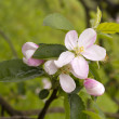 Apple blossom — Stock Photo #38333967