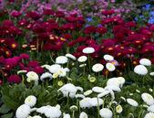 カラフルなデイジーの花 — ストック写真