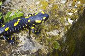 Salamander — Stock Photo