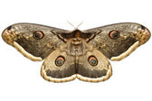 Small emperor moth — Stock Photo