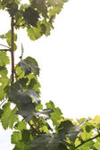 Fresh grapevine frame — Stock Photo