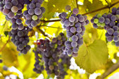 Ripe grapes with yellow leaves  — Stock Photo