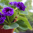 Violet gloxiniin brown pot	 — Stock Photo #41668637