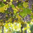 Red grapes in vineyard  — Stock Photo #41669037