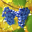 Red grapes — Stock Photo #41671549