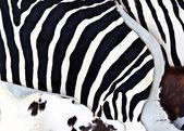 Zebra fur  — Stock Photo