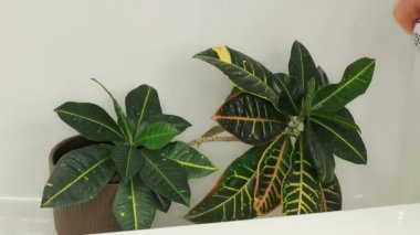 Cleaning off Houseplant Leaves in a Shower — Stock Video
