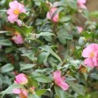 Pink Flowering Camellia — Stock Video