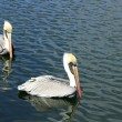 Two Pelicans on Water — Foto de Stock