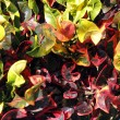Stock Photo: Croton Plant Leaves Background