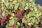 Beautiful Acalypha Pendula or Firetail Plant — Stock Photo