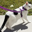 Feline Wearing Harness — Stock Photo #38919735