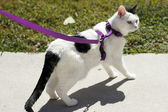 Feline Wearing a Harness — Foto Stock