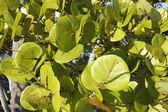 Güneşli deniz üzüm yaprakları — Stok fotoğraf