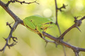Hyla arborea among tree branches — Stock Photo