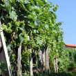 Vineyard and grapes — Stockfoto