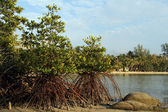 Mangrove trees — Stockfoto