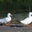 Two ducks — Stock Photo