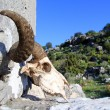 Ram skull — Stock Photo