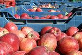 červená jablka — Stock fotografie