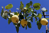 Yellow quinces — Stock Photo